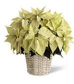 White Poinsettia Basket (Large)